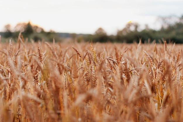Beautiful wheat field in russia on natural sunset background, close up Premium Photo