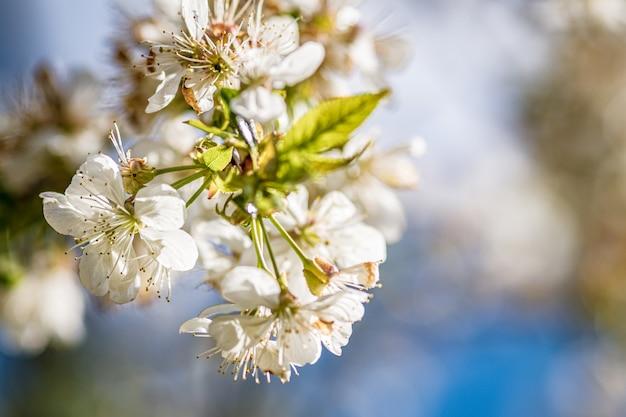 Bellissimi fiori di ciliegio bianchi su una superficie sfocata Foto Gratuite