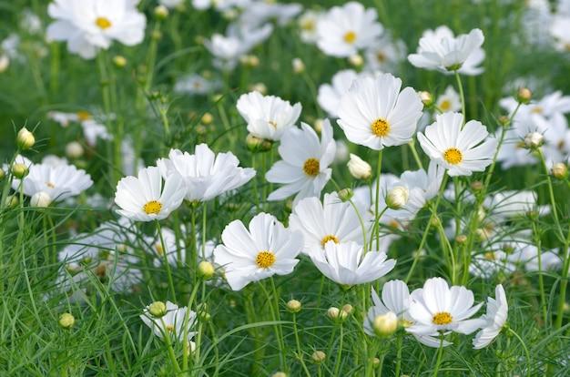 Beautiful white cosmos flower Premium Photo