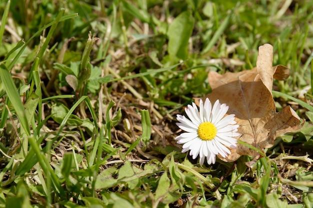 美しい白いデイジーの花 無料写真