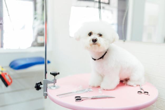 Красивая белая собака ждет парикмахера Premium Фотографии
