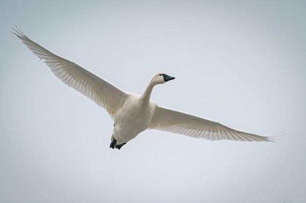 飛んでいる美しい白いガチョウ 無料写真