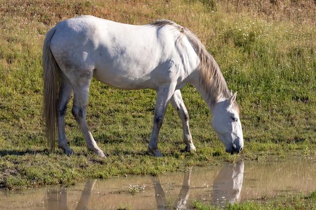 Beautiful white horse in the countyside Premium Photo