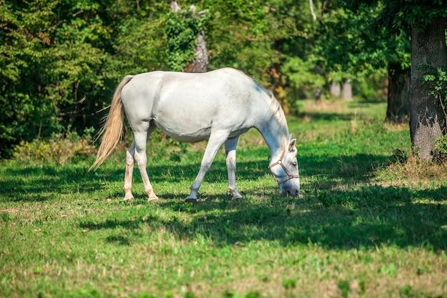 スロベニアの国立公園、リピカの緑の芝生で草を食む美しい白い馬 無料写真