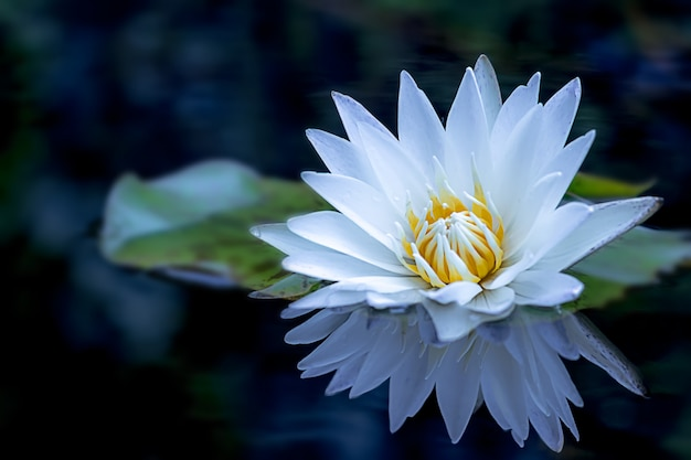 A beautiful white lotus flower and leaf in pond. Premium Photo
