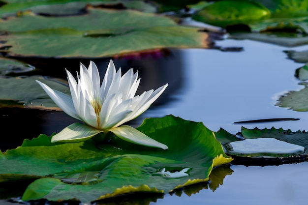 A beautiful white lotus flower in pond. Premium Photo