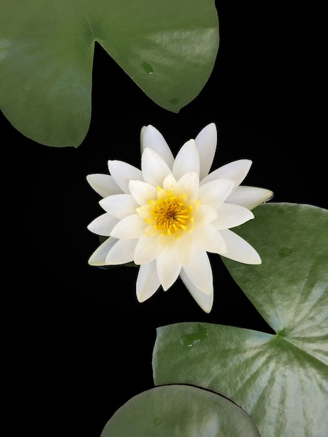 The Beautiful White Lotus Flower Or Water Lily And Lily Pad In The