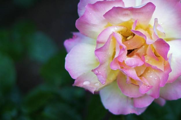 Beautiful white and pink rose Premium Photo