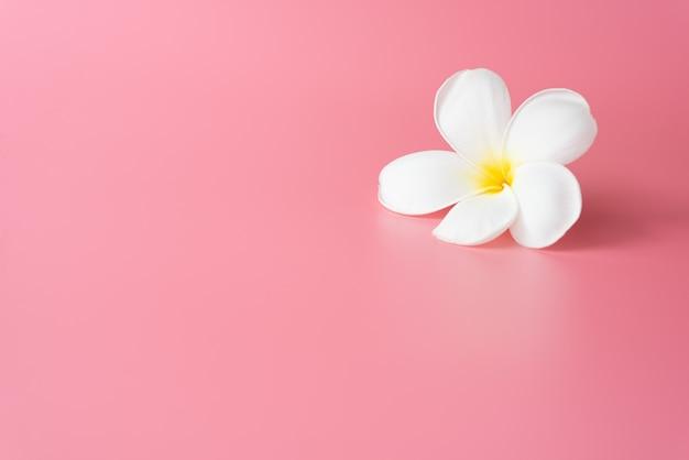Beautiful white plumeria flower on pink Premium Photo