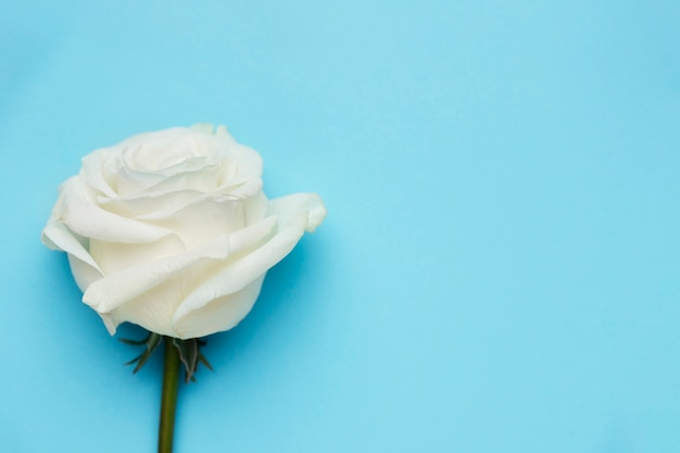 Beautiful white rose with copy space Free Photo