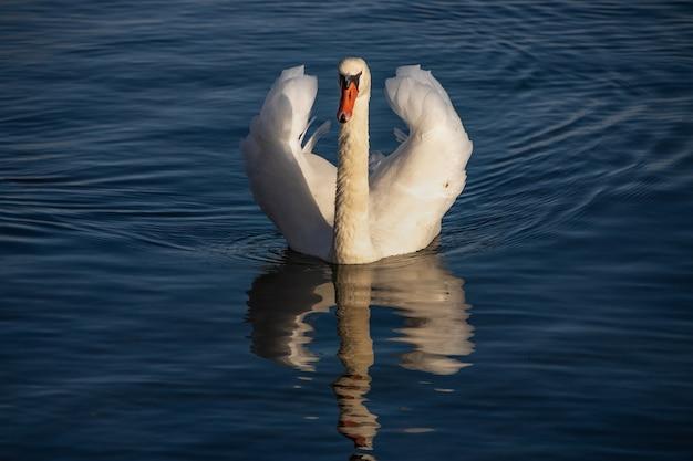 水の上で静かに泳ぐ美しい白い白鳥 無料写真