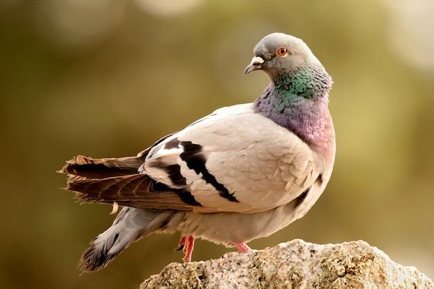 Beautiful wild pigeon Premium Photo