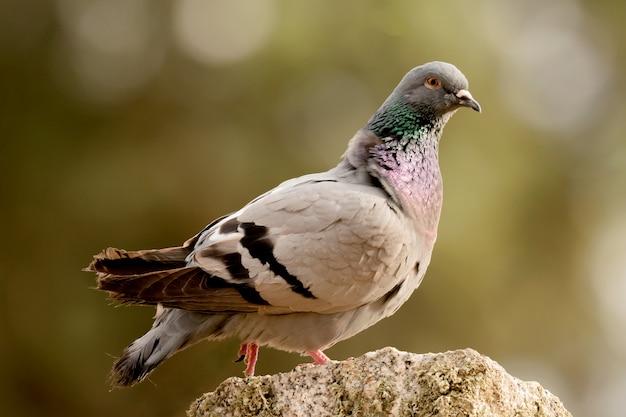 Beautiful wild pigeon Premium Photo