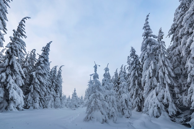 Beautiful winter mountain landscape. tall spruce trees covered with snow in winter forest and cloudy sky background. Premium Photo