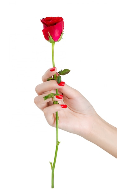 Beautiful woman hand with red nails holding red rose isolated on white background Premium Photo