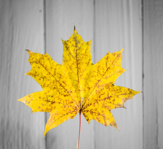 Beautiful yellow autumn leaf on old white wood closeup Free Photo