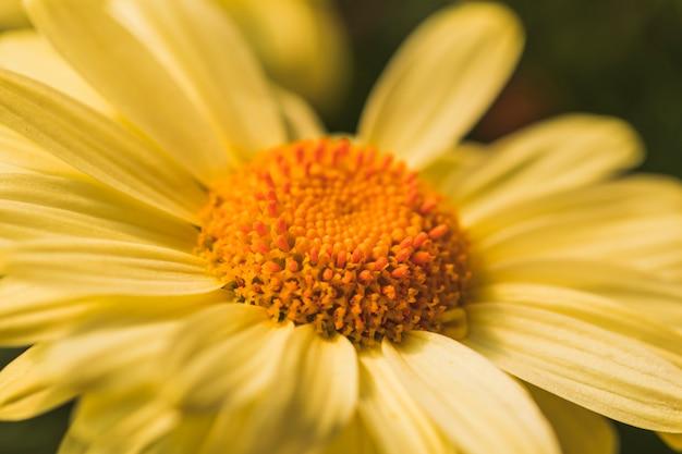 Fiori Gialli Bellissimi.Beautiful Yellow Fresh Daisy Flower Free Photo