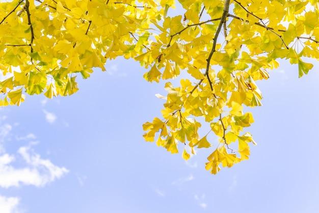 Красивый желтый гинкго, лист дерева гинкго билоба в осенний сезон в солнечный день с солнечным светом, крупным планом, боке, размытым фоном. Premium Фотографии