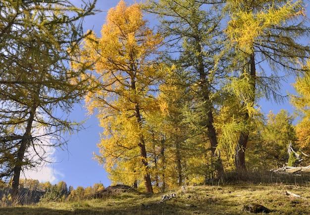 Beautiful yellow larches in autumn in alpine forest Premium Photo