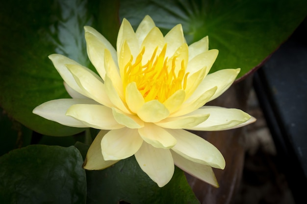 Beautiful Yellow Lotus Flower Is Blooming Photo Premium Download