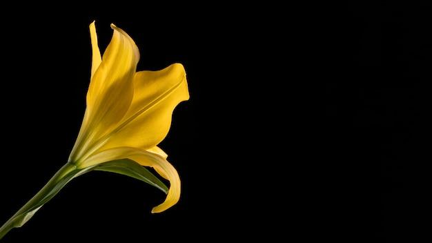美しい黄色のマクロユリの花 無料写真