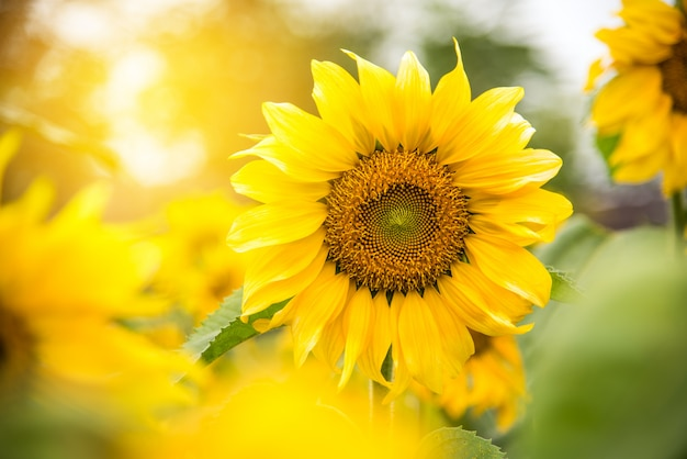 Beautiful yellow sunflower and golden light of the sun ...