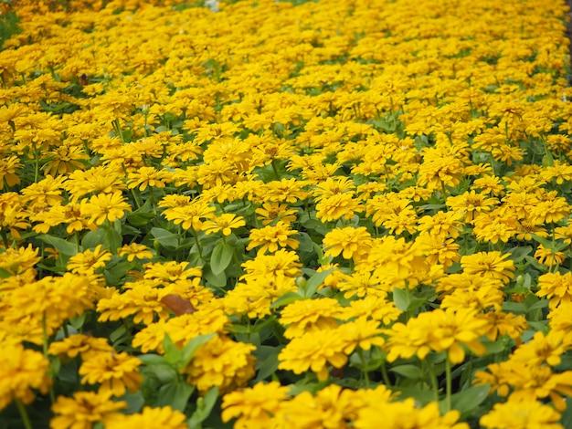 Beautiful yellow zinnia Premium Photo