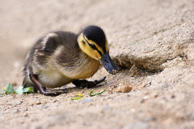 Beautiful young duck on the surface of a pond. wildlife on a sunny summer day. young water bird. Free Photo