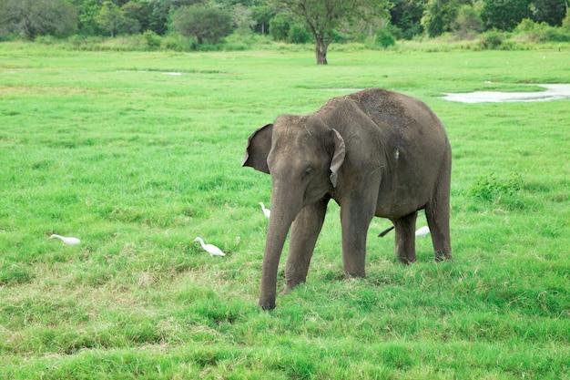自然の中を歩く美しい若い象 Premium写真