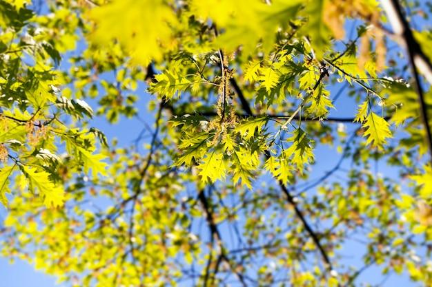 開花中の美しく照らされたオークの葉と木の花序 Premium写真
