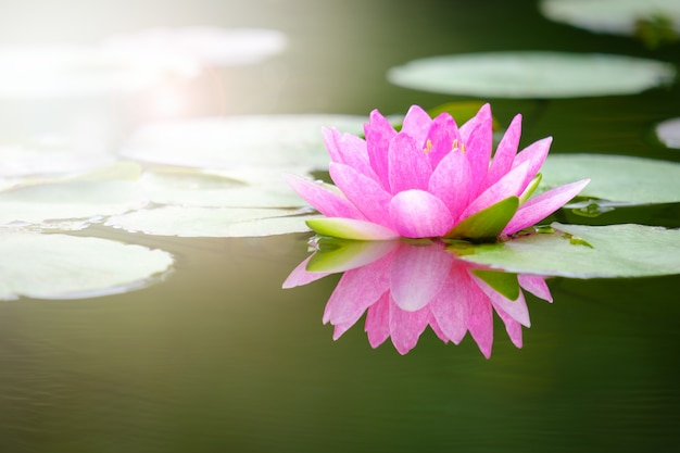Beauty Blossom Pink Lotus Flower In Pond Photo Premium Download