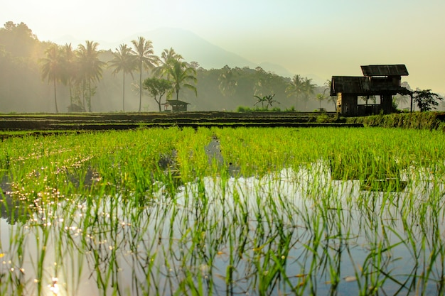 The beauty morning at rice fields Premium Photo