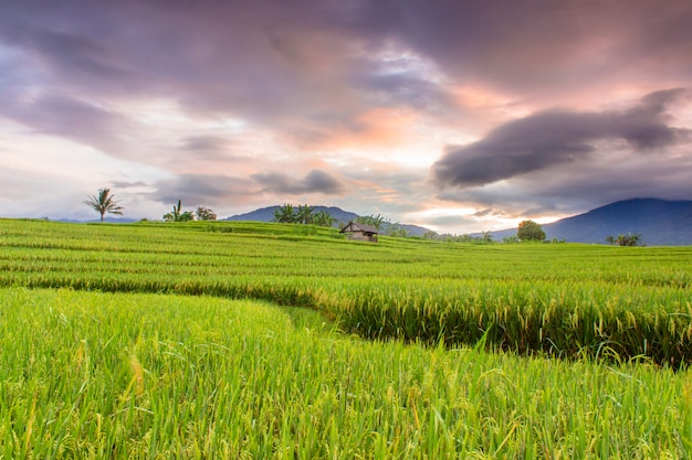 The beauty of the morning on the terrace of the beautiful rice field with yellowing rice and burning sky Premium Photo