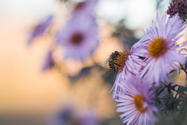 Bee on autumn light purple flowers Premium Photo