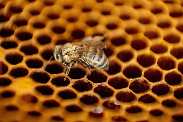 Bee hive on a honeycomb with copyspace. bees produce fresh, healthy, honey. beekeeping concept Premium Photo