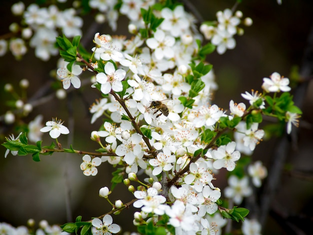 Bee pollinates flowers in the spring. a bee flying around the almond blossom. Premium Photo