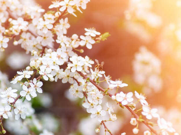 Bee pollinates flowers in the spring at sunny day. Premium Photo