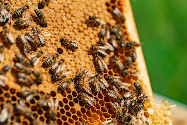 Bees fill honeycomb with honey in a wooden frame in the street Premium Photo