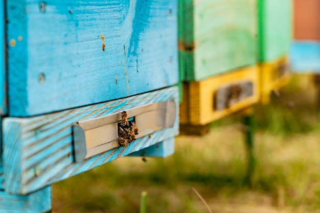 Bees on honeycomb in apiary in the summertime. Premium Photo