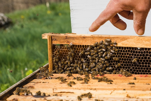 Bees on honeycomb Free Photo