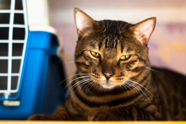 Бенгальская кошка лежит возле клетки для перевозки животных Premium Фотографии