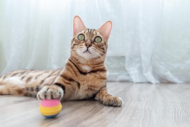 部屋の床に横たわっているカラフルなボールで遊ぶベンガル猫。 Premium写真