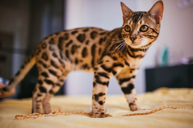 A Bengal cat stands on a yellow bed.   Photo: Freepik