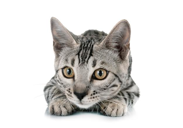 Bengal cat in studio Premium Photo
