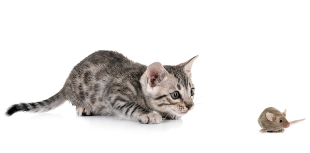 Bengal kitten and mouse Premium Photo