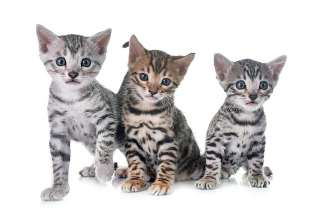 Premium Photo Bengal Kitten In Studio