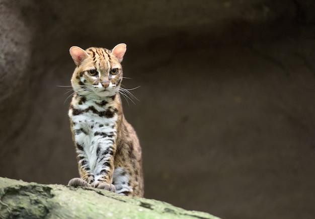 Бенгальский леопардовый кот выглядит недовольным Premium Фотографии