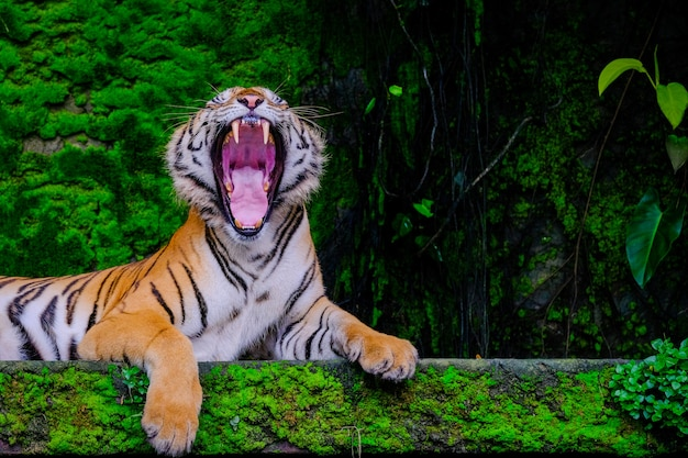 Bengal tiger resting near with green moss from inside the jungle zoo . Premium Photo