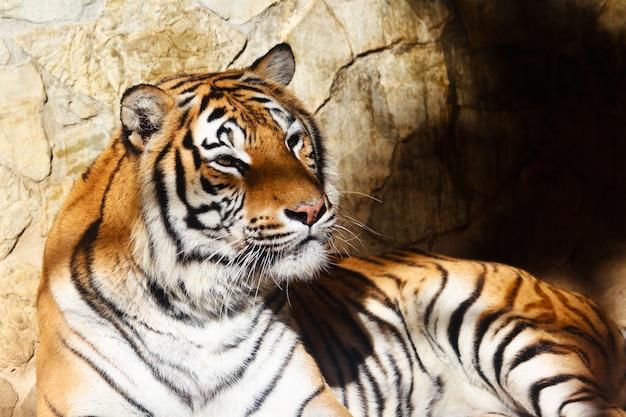 Bengal tiger Premium Photo