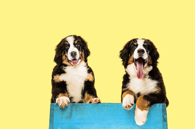 Berner sennenhund puppies on yellow  wall Free Photo